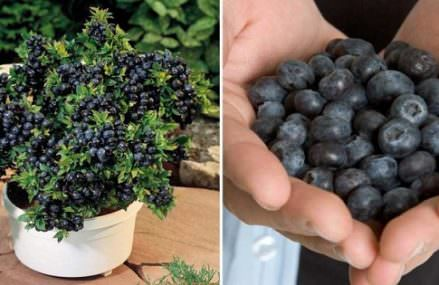How To Grow an Unlimited Amount of Blueberries in Your Backyard